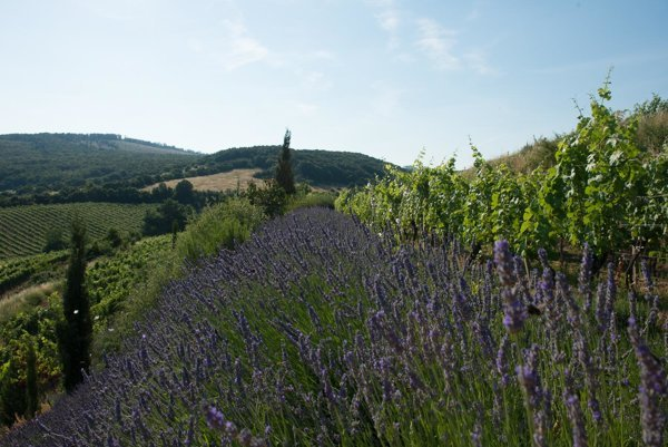 Lavender garden in the Small Carpathians.