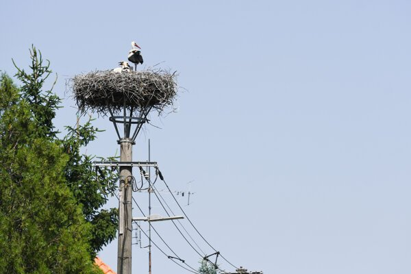White storks nest on a utility pole in the village of Jablonica in the Trnava Region.