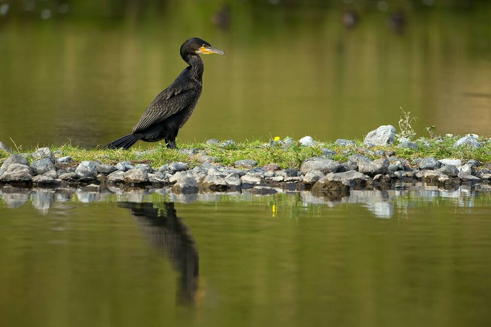 The little cormorants is spotted in Slovakia