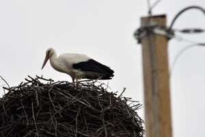 WEEK 12: The first white stork, seen as a messenger of spring, has nested in Zemplínske Hradište, eastern Slovakia. The village is a significant ornithological locality when it comes to white storks. There are more than 20 nests, which is why Z. Hradište is referred to as Bocianopolis (Storkpolis).