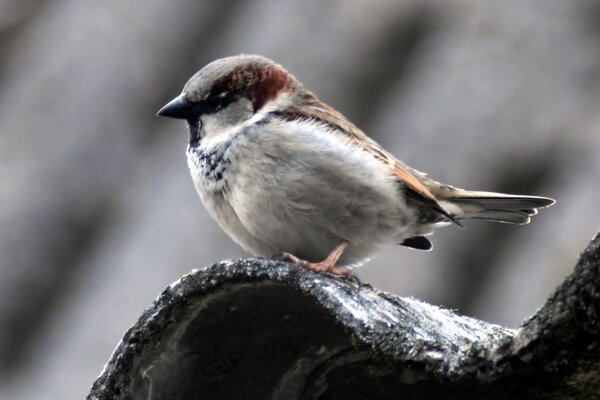 The population of sparrows is declining in Slovakia, too.