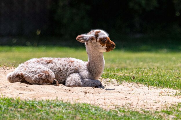The baby alpaca Salma was born on June 14, 2021, at the zoo in the Slovak capital.