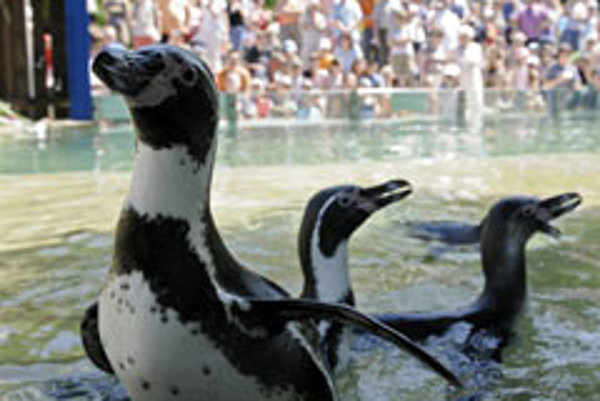 Which way to Chile?: These Humboldt penguins already feel at home in Košice Zoo.