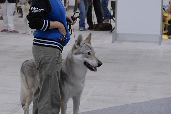 This female wolf dog from Italy won a CAC award and the best of breed award.