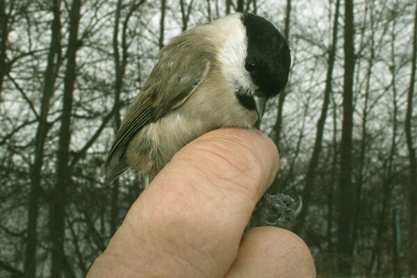 The Marsh Tit is one of the rarer birds visiting Slovakia.