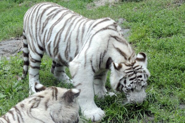 Bratislava zoo's white tigers.