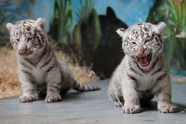 A white tiger cub in action.