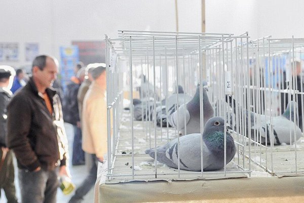 About 700 racing pigeons were exhibited in Nitra in early January.