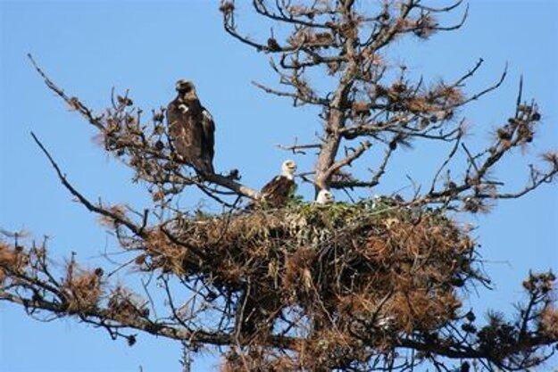 Nesting eagles