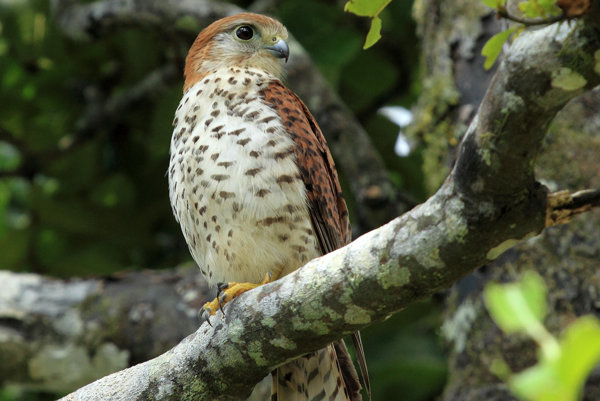 Carl Jones is widely recognised as having brought the Mauritius Kestrel (pictured here) back from the brink of extinction. His story is also an answer to the question: work to live or live to work?
