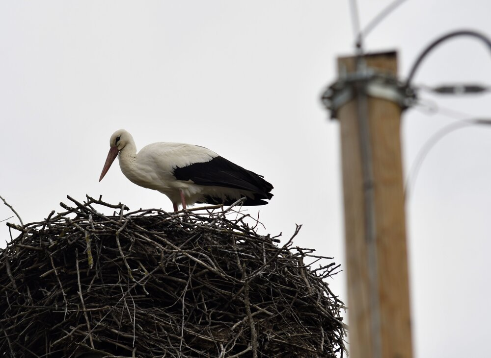 The first white stork to nest in the village of Zemplínske Hradište in eastern Slovakia this year. There are about 20 nests in the village.