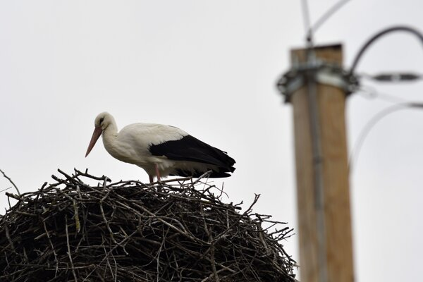 The first white stork nested in the village of Zemplínske Hradište in eastern Slovakia. There are about 20 nests in the village.