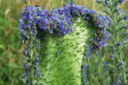 The stem of the mutated viper's bugloss is 26 centimetres in width.