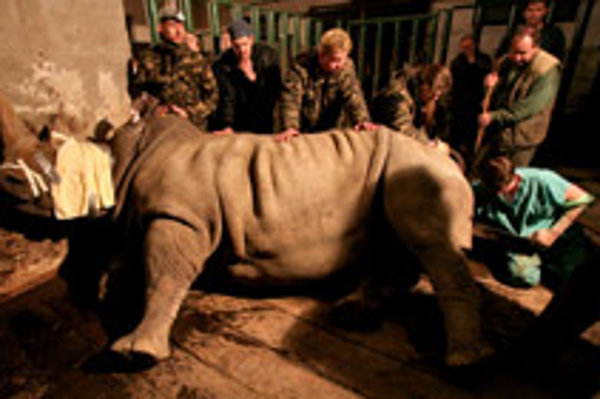 Ada the rhino underwent artificial insemination on January 26..