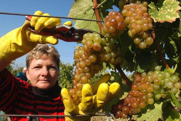 Harvesting of grapes in the Slovak part of Tokaj region.