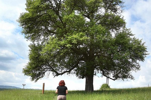 The Tree of the Year 2008 was this wild pear in Zvolenská Slatina.