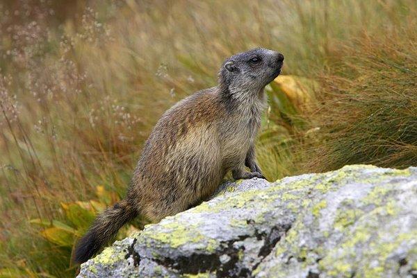 Taking the air: a Tatras marmot.