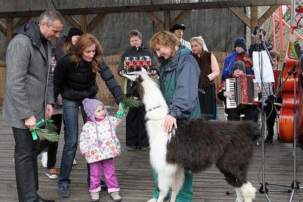 A furry llama enchants a child at Košice Zoo.