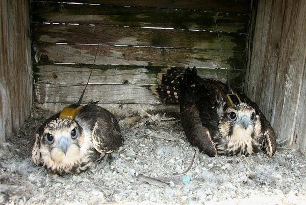 Saker falcons such as these young offspring are a protected species in Slovakia.