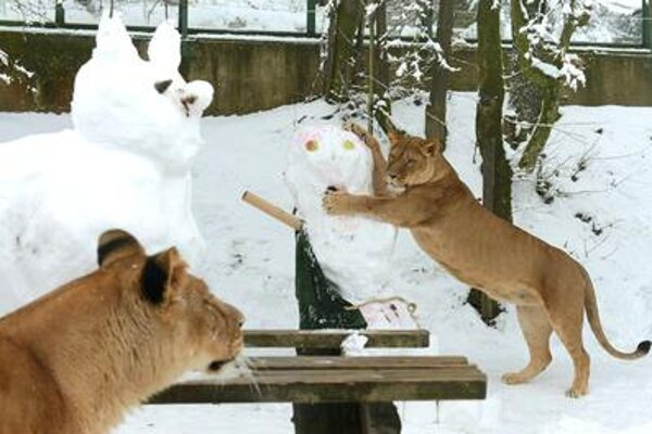 Lionnesses play with snowmen.