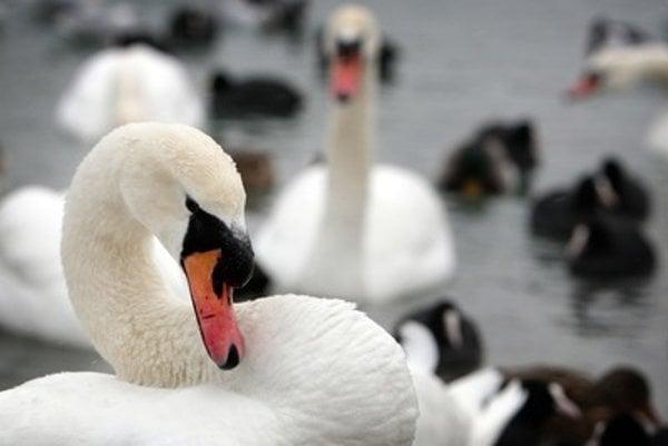 Swans, illustrative stock photo