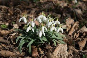 Snowdrop / Galanthus nivalis (Devínska Kobyla - Bratislava)