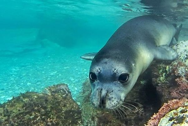 Monk seal, to be seen in a movie at Ekotopfilm/Envirofilm festival in Bratislava and Banská Bystrica