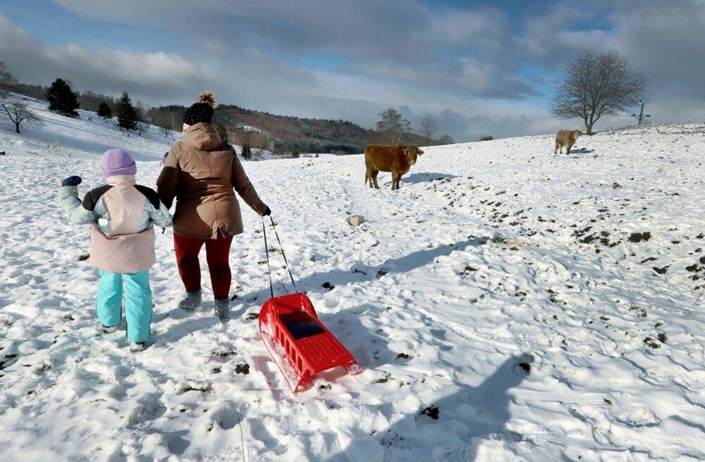 Cows and sledgers meet on the slope of a closed ski centre in Kráľová pri Zvolene, central Slovakia.