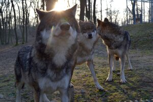 Wolves in the new enclosure.