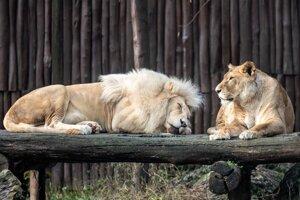 African lions Haldír and Jawa