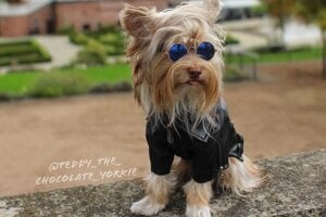 The Yorkshire terrier Teddy from Slovakia has found fame on Instagram.