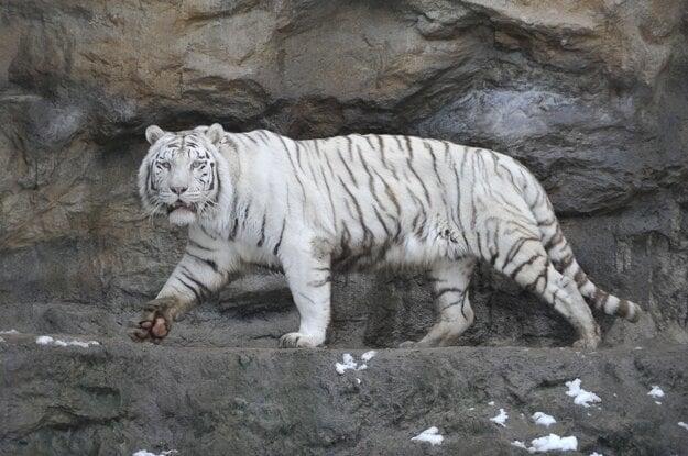 Biely tiger Achilles, ktorý pricestoval do bratislavskej zoo z českého Liberca v roku 2006, zomrel a pridal sa k svojmu partnerovi Shillangovi z Francúzska.  Tigrovi, ktorý rád plával vo svojom jazere a hral sa s vodou vychádzajúcou z Chartúmu, bolo v máji 19 rokov.