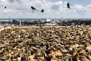 Bees are no longer kept only in nature. They have found their way to urban areas, too.