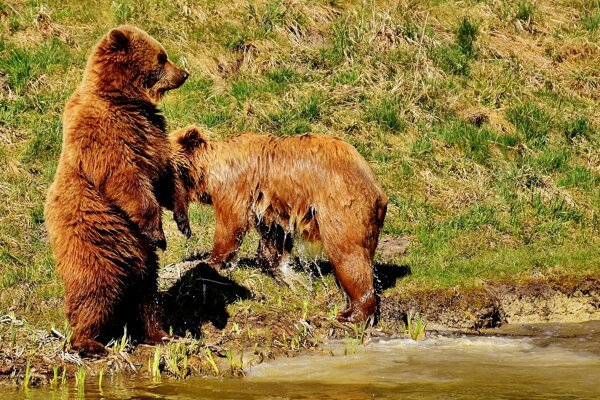 Meeting a bear does not necessarily mean that it will attack you.