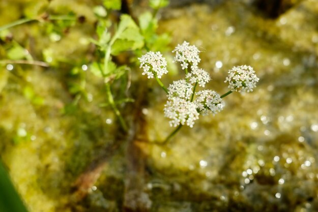 Creeping marshwort is on the list of protected plants in Slovakia.