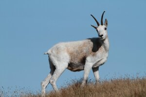 About 100 to 110 Tatra chamois live in the NAPANT national park, central Slovakia, but only two are white.