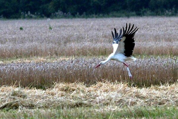 A white stork