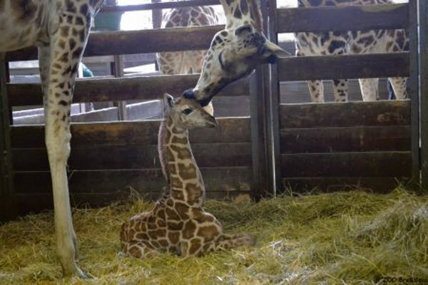 The as-yet unnamed baby giraffe with his mother.