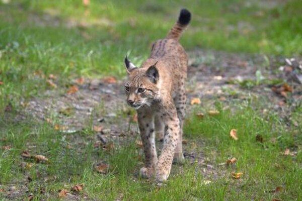 Bojnice lynx