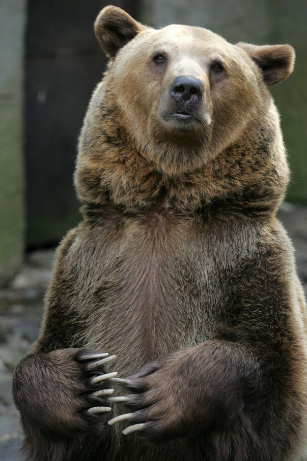 The brown bear, illustrative stock photo.