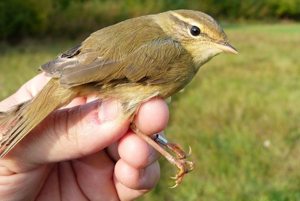 Radde's warbler (Phylloscopus schwarzi)