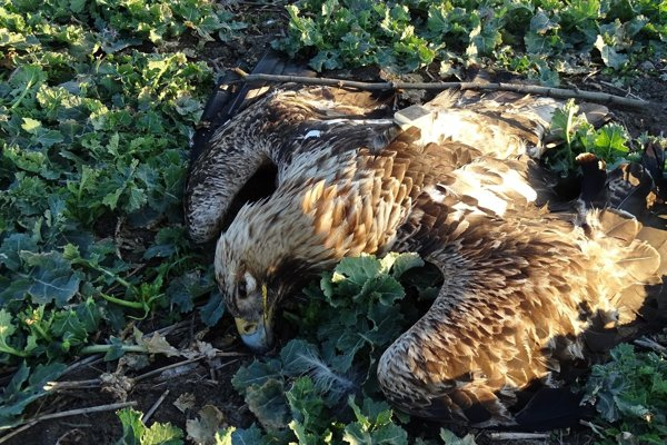 Poisoned eastern imperial eagle from Hungary found near Nitra.
