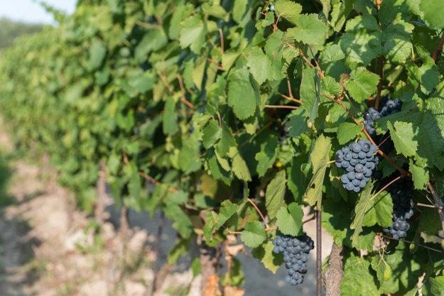 Račianska Frankovka grapes in a vineyard in Nové Mesto