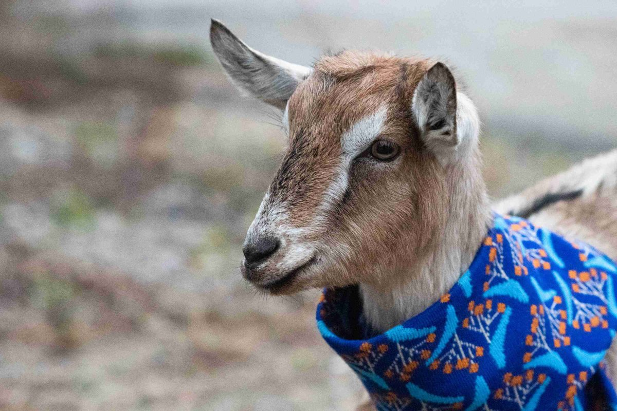 Goat visits the Presidential Palace - spectator sme sk