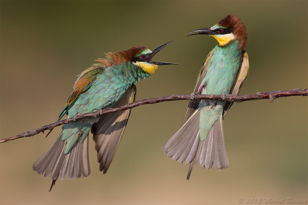 The European bee-eater is nicknamed a Slovak parrot.