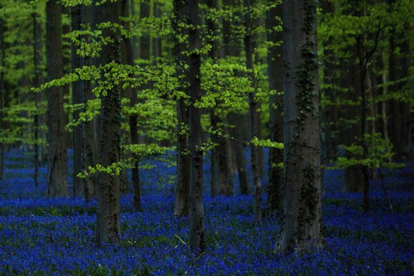 Bluebells, also known as wild Hyacinth, bloom in the Hallerbos forest in Halle, Belgium, on Wednesday April 29, 2015.