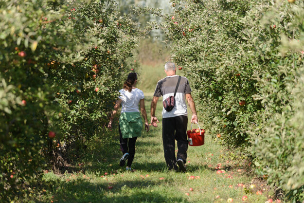 With the autumn in full swing, people start stocking up for the winter. In the picture, people pick apples in Dvory nad Žitavou, near Nové Zámky.