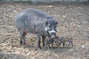 Negros Island warty pig