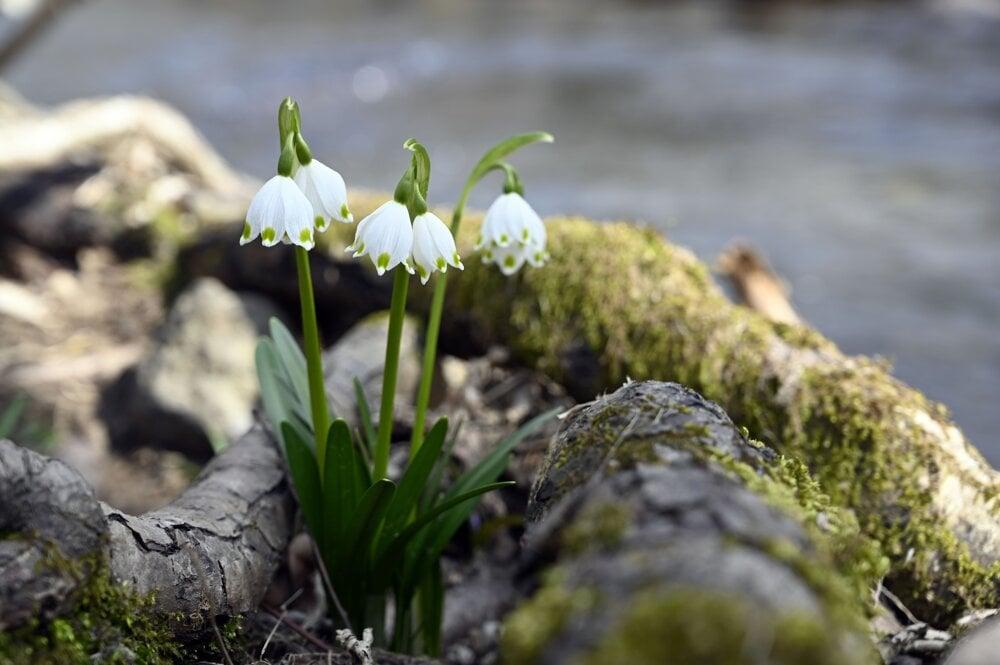 Jarní sněhová vločka kvete v přírodní rezervaci Jovsianska Hrabina (v regionu Michalovce na východním Slovensku), která je největší oblastí s touto chráněnou květinou v zemi.