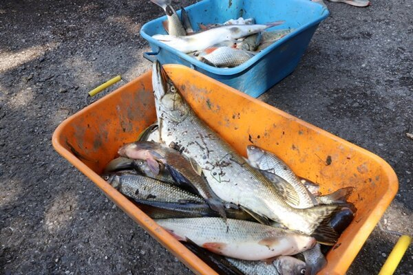 Dead fish had to be fished out of the Hron River.